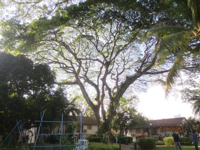 Heritage Rain Tree