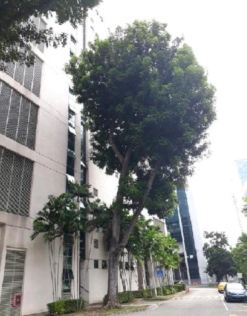 Lopsided tree