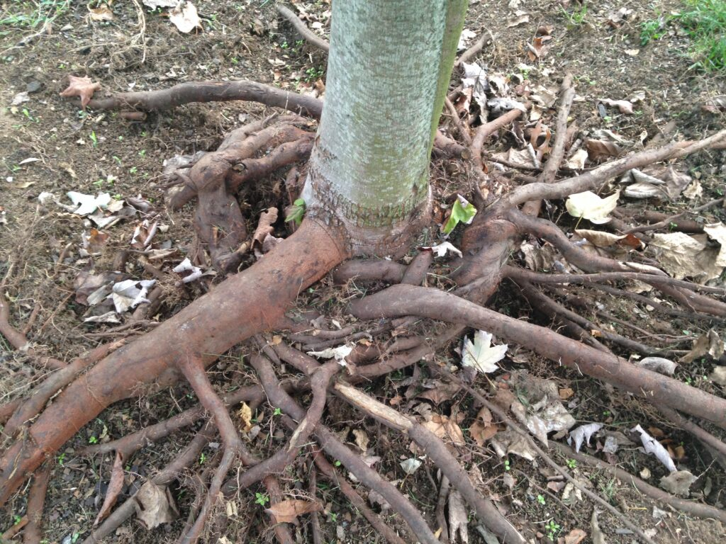 Girdling roots