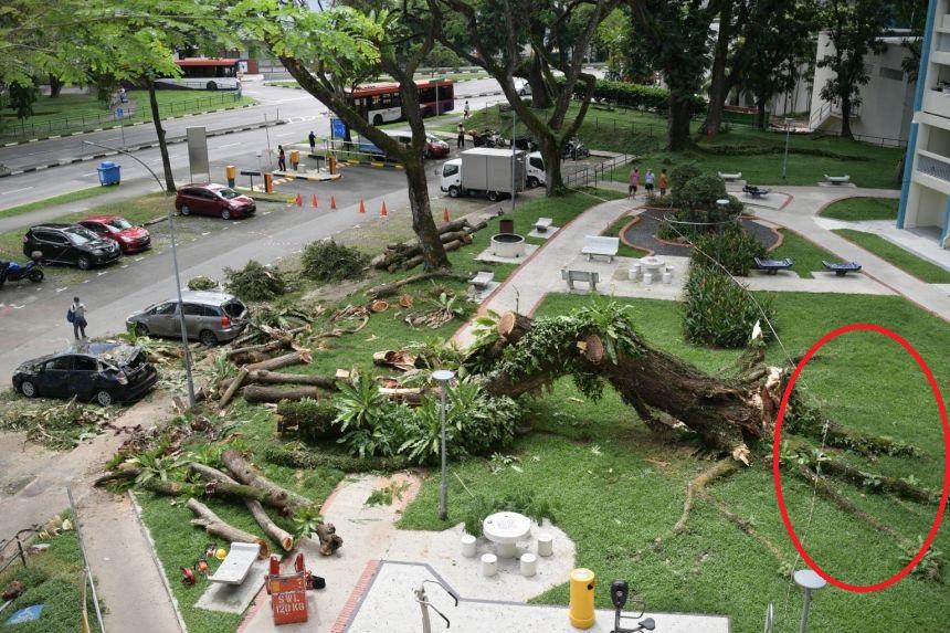 Tension roots of fallen tree