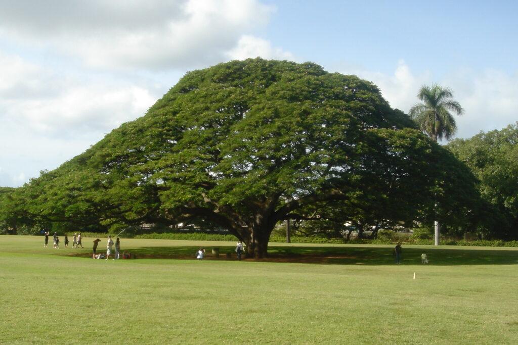 Example of healthy rain tree