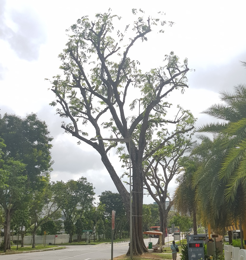 Poorly maintained street tree